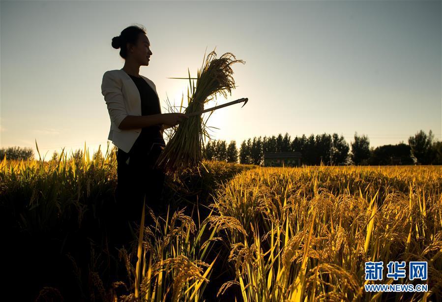 在吉林省舒蘭市白旗鎮,蔡雪在稻田間收割水稻(9月19日攝)。 新華社記者 許暢 攝
